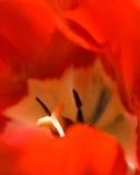 Tiro de la macro del tulipán Imágenes de archivo libres de regalías