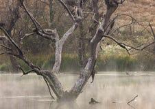 Tiro de la madrugada de los pájaros de agua que jerarquizan en los árboles atrapados en una presa Fotos de archivo libres de regalías