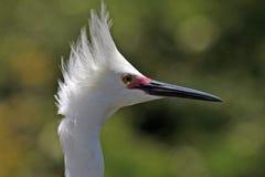 Tiro de la pista del egret nevado Foto de archivo libre de regalías