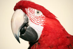 Tiro de la pista del macaw del escarlata Foto de archivo libre de regalías