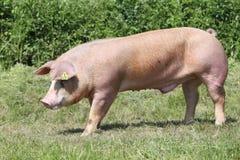 Tiro de la vista lateral de un cerdo joven de la raza del Duroc-Jersey en el ambiente natural fotografía de archivo