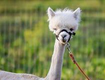 Tiro de Portriat da cabeça do bebê da alpaca Fotos de Stock Royalty Free