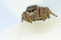 Tiro de salto de la macro de la araña del arcuata de Evarcha Imagen de archivo libre de regalías