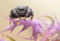 Tiro de salto de la macro de la araña del arcuata de Evarcha Foto de archivo
