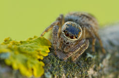 Tiro de salto de la macro de la araña del arcuata de Evarcha Foto de archivo libre de regalías