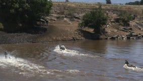 Tiro de seguimiento ancho del paso de cebra el río de Mara en reserva del juego de Mara del masai almacen de video
