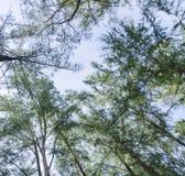 Tiro de un ángulo más bajo, debajo del tronco del parque del equisetifolia del Casuarina del roble del mar Imágenes de archivo libres de regalías