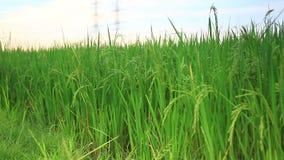 Tiro del carro del campo del arroz metrajes
