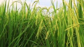 Tiro del carro del campo del arroz, de la derecha hacia la izquierda almacen de metraje de vídeo