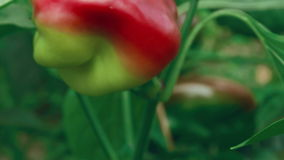 Tiro del enfoque del resbalador de pimientas verdes de la producción local y rojas orgánicas con Foliage_Fly metrajes