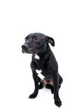 Tiro del estudio de Staffordshire bull terrier Imagenes de archivo