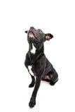 Tiro del estudio de Staffordshire bull terrier Fotos de archivo libres de regalías