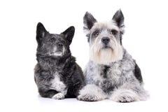 Tiro del estudio de un perro mezclado adorable de la raza y de un schnauzer miniatura fotos de archivo libres de regalías
