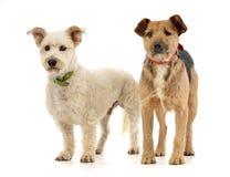 Tiro del estudio del perro mezclado adorable de la raza dos foto de archivo libre de regalías