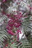 Tiro del primer de la cereza de cornalina con el fondo verde oscuro borroso de las hojas fotografía de archivo libre de regalías