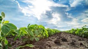 Tiro del primer de las plantas de soja verde, orgánico mezclado y gmo Imagenes de archivo