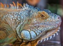 Tiro del primer del dragón de Camilion Foto de archivo libre de regalías