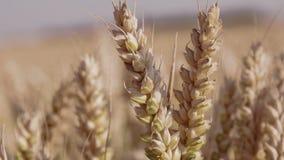 Tiro del primer del trigo con los cambios focales almacen de metraje de vídeo