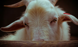 Tiro del primo piano degli occhi della capra Fotografia Stock Libera da Diritti