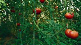 Tiro del resbalador de los tomates orgánicos de la producción local con la vid y el follaje en Greenhouse_02 almacen de video