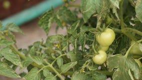 Tiro del tomate Imagenes de archivo