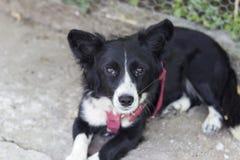 Tiro delantero del primer del pequeño perro negro Fotografía de archivo libre de regalías