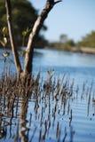 Tiro della mangrovia Immagini Stock Libere da Diritti