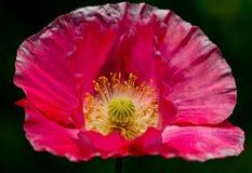 Tiro destacado de la flor roja delicada de papel de la amapola. Foto de archivo