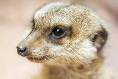 Tiro detalhado da cara de um meerkat doce imagens de stock