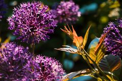 Tiro di actinidia nel giardino Fotografia Stock Libera da Diritti