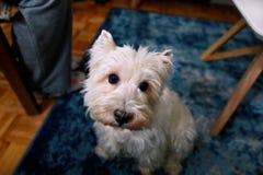 Tiro di foto del cane a casa Ritratto dell'animale domestico del cane bianco di West Highland Terrier che gode e che riposa sul p fotografie stock libere da diritti