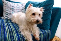 Tiro di foto del cane a casa Ritratto dell'animale domestico del cane bianco di West Highland Terrier che si trova e che si siede immagine stock