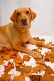 Tiro di foto di Labrador immagine stock