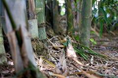 Tiro do bambu no chiangmai Tailândia Imagem de Stock