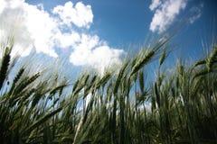 Tiro do campo de Rye de baixo de Spikelets do centeio contra o céu azul da mola com as nuvens brancas, luxúrias fotografia de stock royalty free