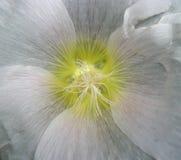 Tiro do centro da flor branca Fotos de Stock