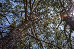 Tiro do close up da árvore alta com os ramos longos que estendem horizontalmente Vista ascendente da casca escamoso grande, dos m imagens de stock royalty free