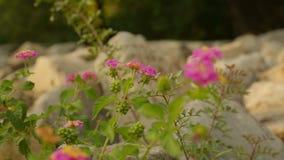 Tiro do close up da flor bonita que floresce na superfície rochosa, projeto da paisagem vídeos de arquivo