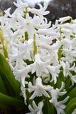 Tiro do close up da flor branca fotos de stock royalty free