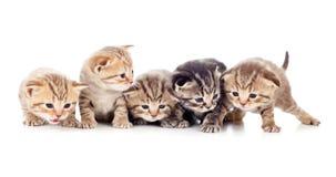 Tiro do estúdio da ninhada de cinco gatinhos Fotos de Stock