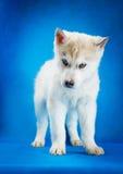 Tiro do estúdio do cachorrinho do cão de puxar trenós Siberian Fotografia de Stock