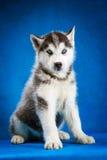 Tiro do estúdio do cachorrinho do cão de puxar trenós Siberian Imagem de Stock Royalty Free
