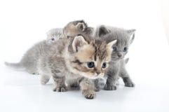 Tiro do estúdio dos gatinhos pequenos isolados sobre o branco Imagens de Stock