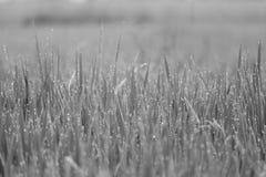 Tiro do fim da grão do arroz com gota da água fotografia de stock royalty free