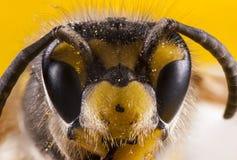 Tiro do macro da cara das abelhas Fotografia de Stock