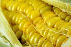 Tiro do macro do milho Foto de Stock