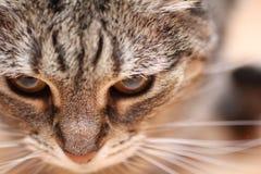 Tiro do macro do gato imagem de stock royalty free