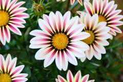 Tiro do macro dos rigens do Gazania do campo de flor do Gazania Foto de Stock Royalty Free