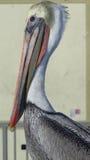 Tiro do perfil do pelicano Imagem de Stock