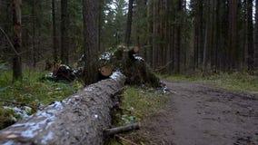 Tiro do pinheiro caído na floresta video estoque